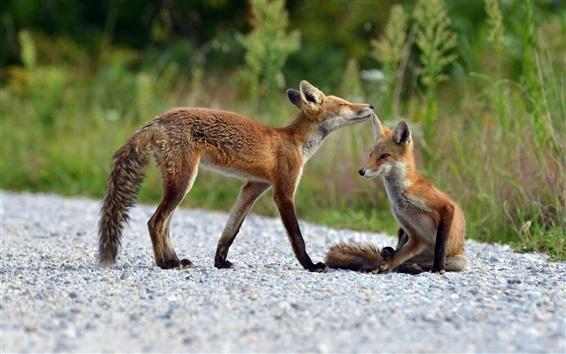 Обои Два лисы, природа летом