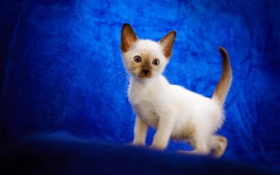 Papéis de Parede Gatinho branco bebê, fundo azul