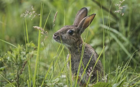 Fond d'écran Lapin sauvage dans l'herbe, lapin gris