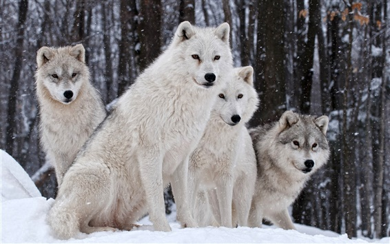 Wallpaper Wolves family, nature, winter