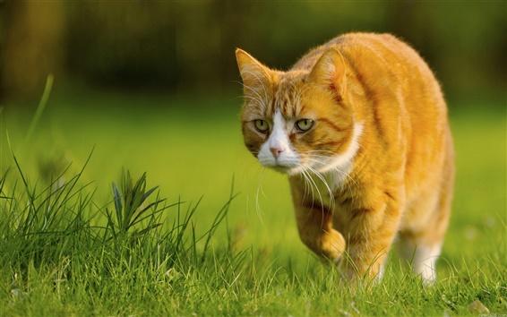 Wallpaper Yellow cat preying, green grass