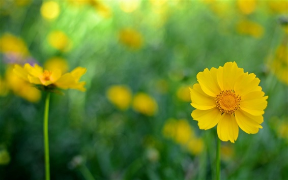Wallpaper Yellow kosmeya flowers, blur background