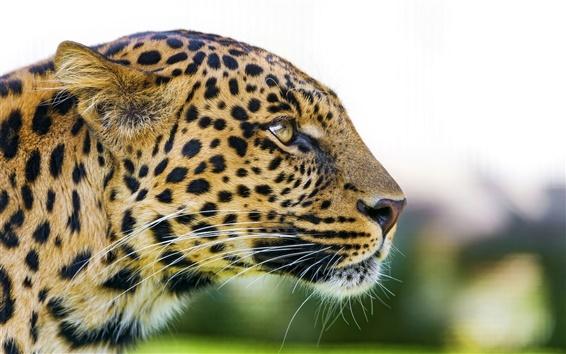 Papéis de Parede Animal, leopardo, rosto, olhos, predador