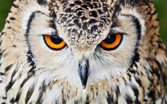 睨みつけるフクロウの動物壁紙