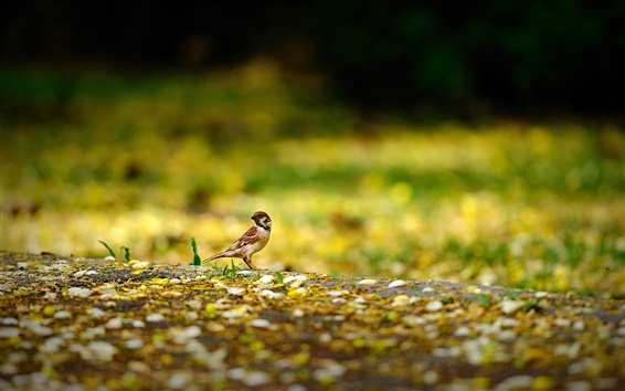 Wallpaper Bird, sparrow, ground, yellow