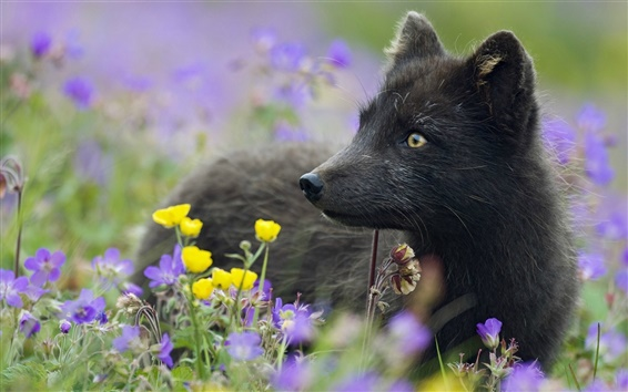 Wallpaper Black Arctic fox, plants, flowers, grass