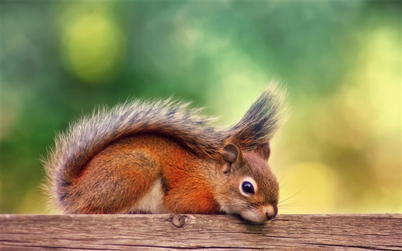 Papéis de Parede Canadá, outono, esquilo resto vermelho