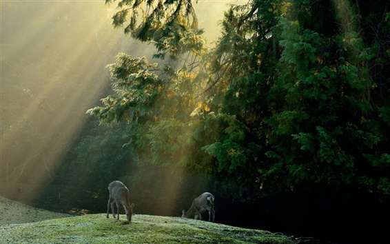 Wallpaper Forest, trees, meadow, deer, sun rays