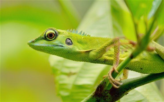Wallpaper Green lizard, eyes, blur