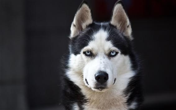 Wallpaper Husky dog, blue eyes, white black