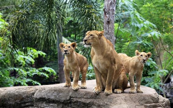 Papéis de Parede Família Leão, leoa, filhotes de leão