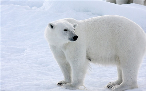 Papéis de Parede Urso polar, neve, inverno, cor branca