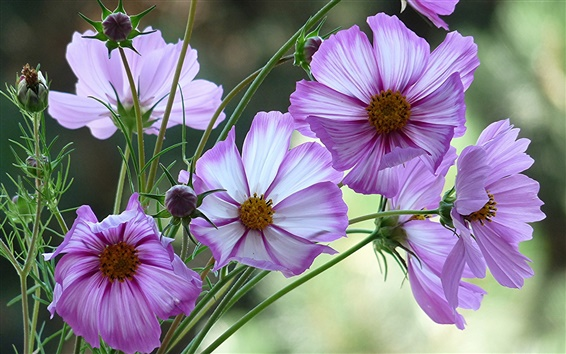 Обои Фиолетовый Kosmeya цветы