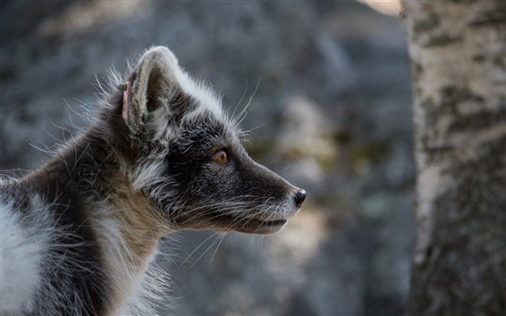 Wallpaper Side view of black Arctic fox