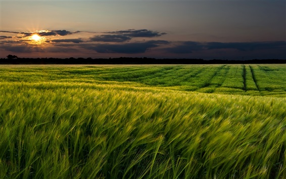 Wallpaper Sunset landscapes, nature, wheat fields, dusk