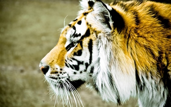 Wallpaper Tiger face side view, blur background