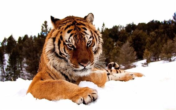 Papéis de Parede Tigre na neve