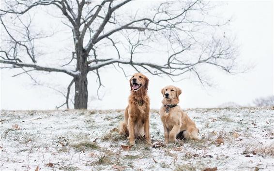 배경 화면 겨울에 두 갈색 개