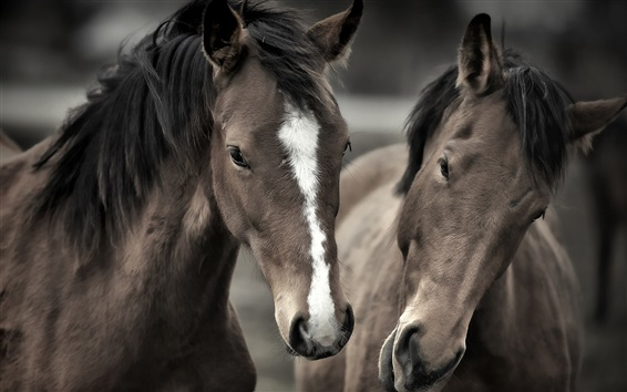 Wallpaper Two horses face to face