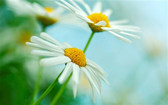 Wallpaper Two white daisies flowers, green blur background