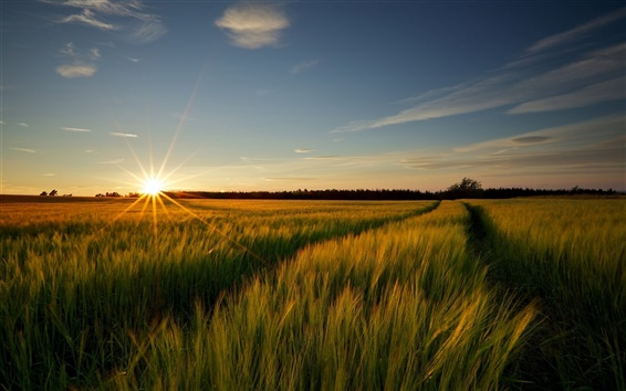 Wallpaper Wheat fields nature landscape, sunrise