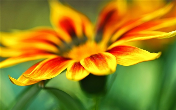 Wallpaper Yellow orange flower petals macro, green blur background