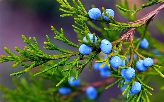 Обои Осень, природа, можжевельник, синие ягоды, капли воды