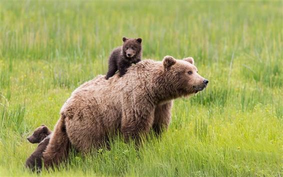 Обои Медведи семьи, трава, зеленый