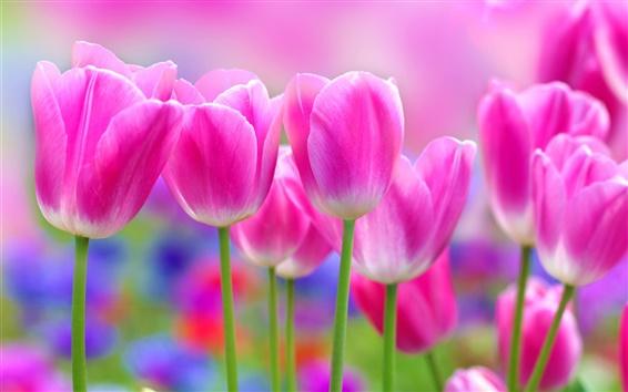 Обои Красивые розовые тюльпаны цветы, размытия фона
