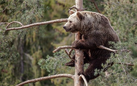 Wallpaper Gray bear, pine tree