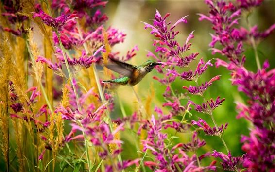 Papéis de Parede Colibri, pássaro, flores rosa
