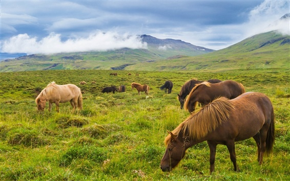 Обои Исландия, лошадь, горы, луг