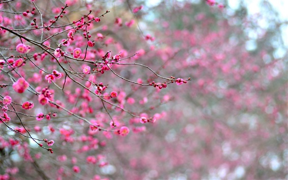 Wallpaper Japan, pink apricot flowers, branches, blossoms