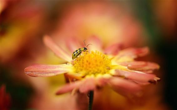 Papéis de Parede Flor de laranjeira, macro, inseto, joaninha, borrão