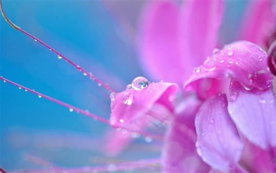 Wallpaper Pink flower petals close-up, dew, water drops