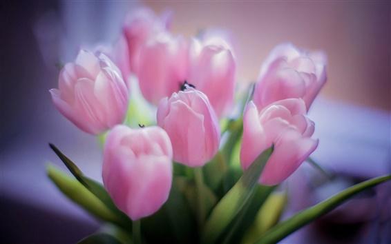 Papéis de Parede Tulipas rosa, buquê flores, fundo desfocado