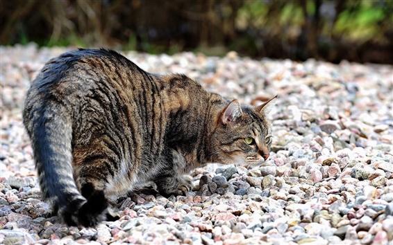 Обои Крадущийся кот на камни дороги