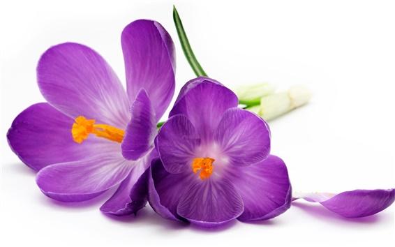 Обои Фиолетовый крокусы, лепестки, белый фон