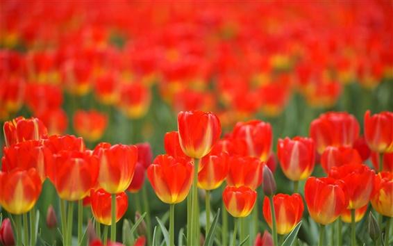 Fondos de pantalla Flores rojas, tulipanes, primavera