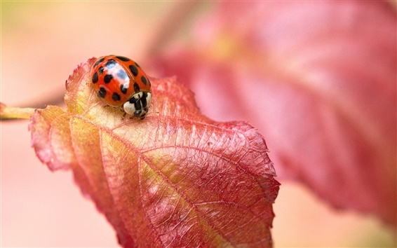 Wallpaper Red leaf, insect ladybug