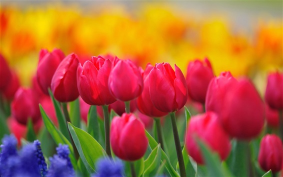 Wallpaper Red tulips, yellow flowers, hyacinths, spring nature