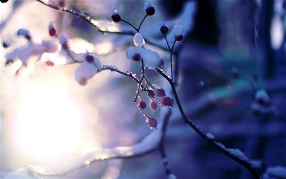 Обои Снег, зима, дерево, ветки, ягоды, солнце, боке