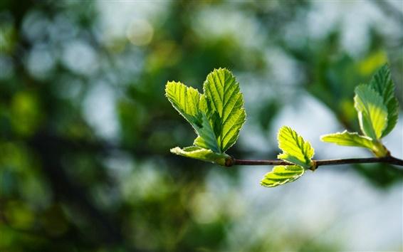 Wallpaper Spring, branch, green leaves buds, glare
