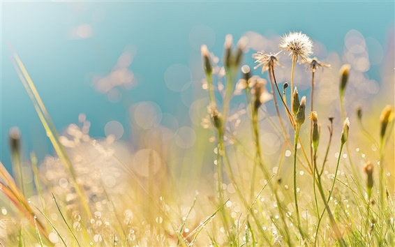 Fondos de pantalla Verano, campo, hierba, dientes de león, gotas, rocío, pone de relieve, por la mañana