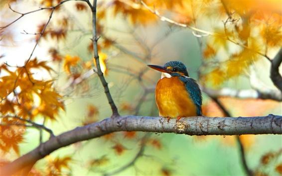 Обои Ветка дерева, желтые листья, осень, птица, зимородок