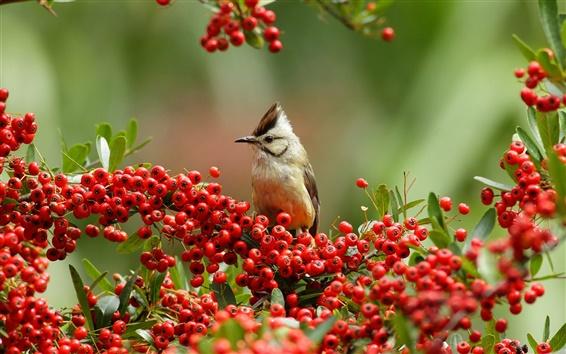 Обои Ветки, красные ягоды, птица