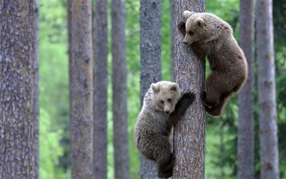 Wallpaper Two bear climb to the tree