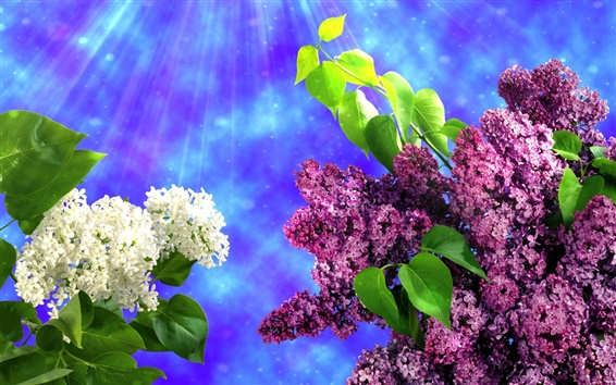 Wallpaper White and purple lilac flowers, spring, leaves
