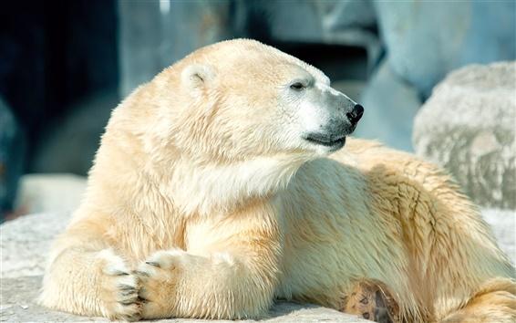 Обои Белый полярный вид сбоку медведь