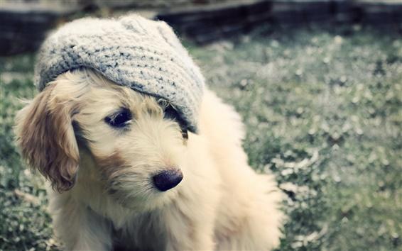 Papéis de Parede Filhote de cachorro branco, chapéu